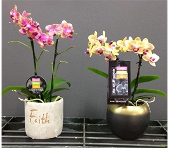 Mini Phalaenopsis in St Catharines ON, Vine Floral