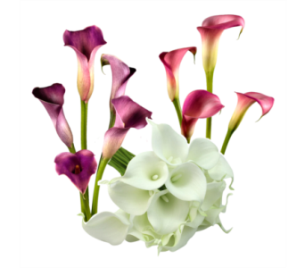 Calla Lilies in Neenah WI, Sterling Gardens