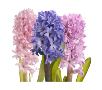 Hyacinth in Neenah WI, Sterling Gardens