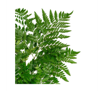 Leather Fern in Neenah WI, Sterling Gardens