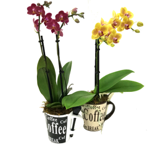 Coffee Break Desktop Orchids in Birmingham AL, Norton's Florist