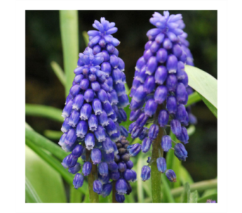 Muscari in Neenah WI, Sterling Gardens