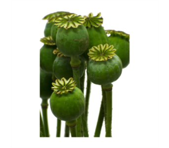 Poppy Pods in Neenah WI, Sterling Gardens