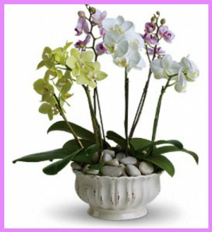 Regal Orchids in Hamilton ON, Joanna's Florist