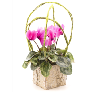 Rustic Cyclamen in Oshkosh WI, House of Flowers