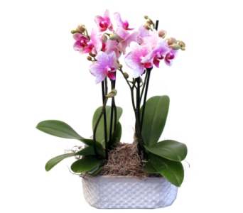Phalaenopsis Pairs in Grimsby ON, Cole's Florist Inc.