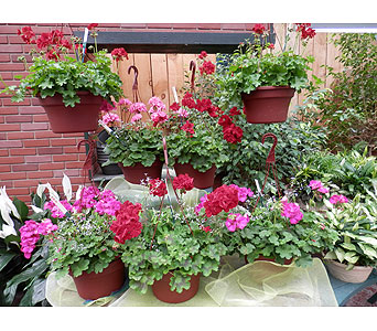 Semi-Hanging Geraniums in Schenectady NY, Felthousen's Florist & Greenhouse