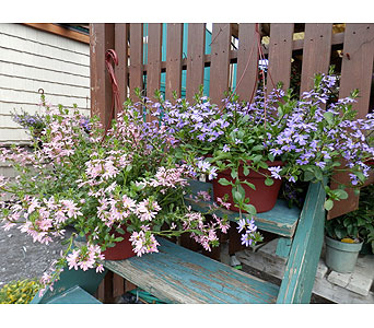 Hanging Scaevola in Schenectady NY, Felthousen's Florist & Greenhouse