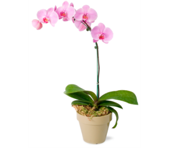 Orchid Plant in Spruce Grove AB, Flower Fantasy & Gifts