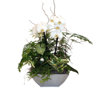 Orchid Peace in Grimsby ON, Cole's Florist Inc.