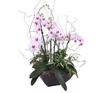 Spectacular Orchid in Grimsby ON, Cole's Florist Inc.