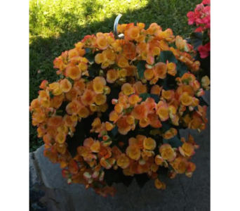 Bountiful Begonias in Kingsport TN, Holston Florist Shop Inc.