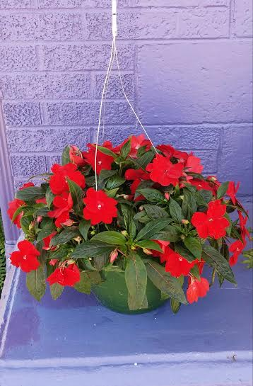 Impressive Impatiens in Kingsport TN, Holston Florist Shop Inc.