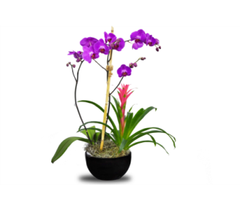 Stylish Orchid Plant by Hoogasian Flowers in San Francisco CA, Hoogasian Flowers
