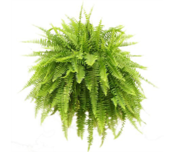 Boston Fern in Baltimore MD, Raimondi's Flowers & Fruit Baskets