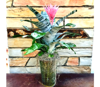 Stylish Bromeliad in Springdale AR, Organic Creations at Country Gardens