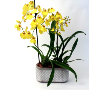 Oncidium Orchid Pairs in Grimsby ON, Cole's Florist Inc.