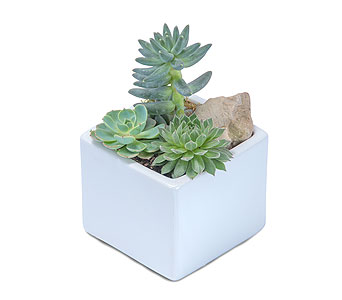 Mini Stunning Succulent in Brockton MA, Holmes-McDuffy Florists, Inc 508-586-2000
