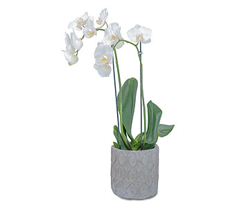 White Elegance Orchid in Columbus OH, Villager Flowers & Gifts