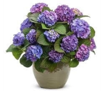 Hydrangea Shrub in Fond Du Lac WI, Haentze Floral Co
