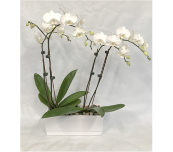 Lavish Orchid in Brooklin ON, Brooklin Floral & Garden Shoppe Inc.