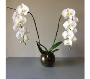 Phalaenopsis Orchid in Walla Walla WA, Holly's Flower Boutique