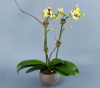 Double Mini Yellow Orchid in Darien CT, Nielsen's Florist And Garden Shop