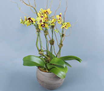 Mini Yellow Orchids Multiples in Darien CT, Nielsen's Florist And Garden Shop