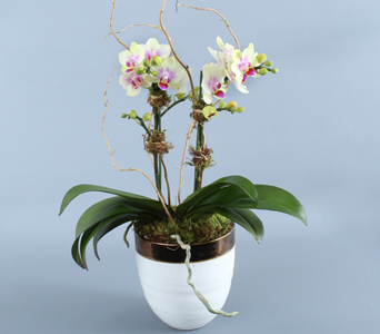 Double Mini Orchids in Decorative in Darien CT, Nielsen's Florist And Garden Shop