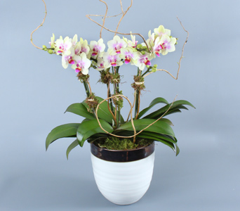 Multiple Mini Orchids in Decorative in Darien CT, Nielsen's Florist And Garden Shop