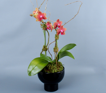 Phalaenopsis in Black in Darien CT, Nielsen's Florist And Garden Shop