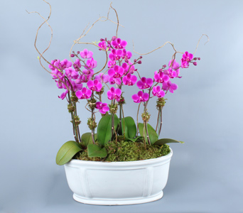Multiple Mini Pink Orchids in Low White Container in Darien CT, Nielsen's Florist And Garden Shop