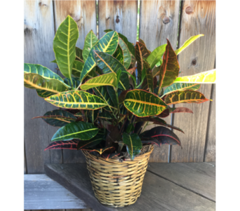Croton in Lawrence KS, Owens Flower Shop Inc.