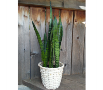 Sansevieria in Lawrence KS, Owens Flower Shop Inc.