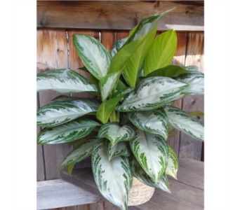 Chinese Evergreen in Lawrence KS, Owens Flower Shop Inc.