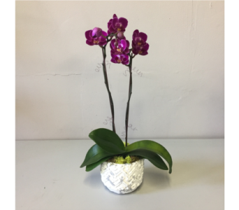 Modest Purple Orchid in Walla Walla WA, Holly's Flower Boutique