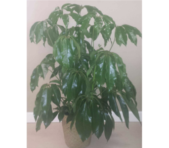 Big Leaf Schefflera Plant in Huntsville AL, Albert's Flowers