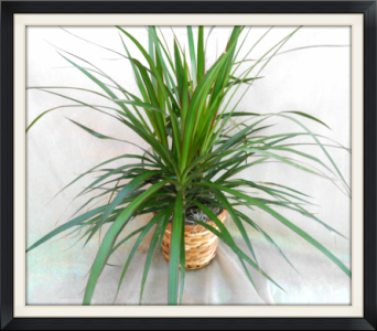 Dracena Marginata in Tyler TX, The Flower Box