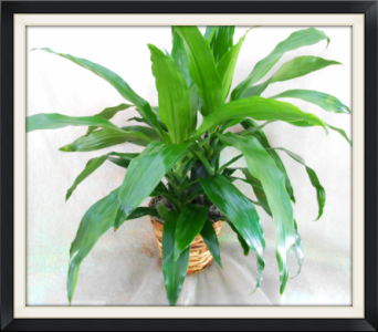 Dracena Cane in Tyler TX, The Flower Box