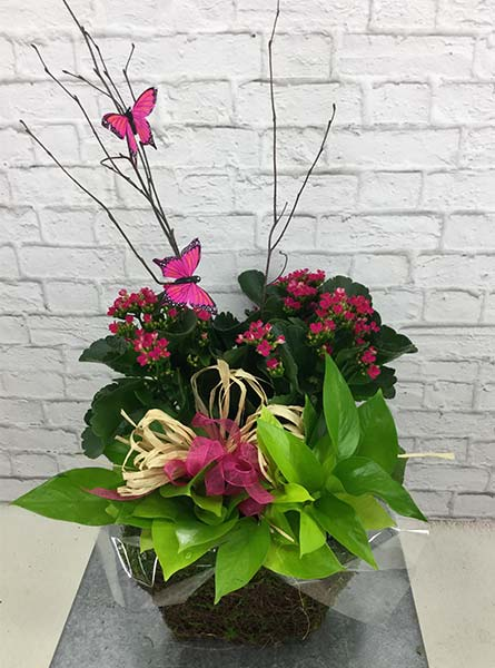 Kalanchoe Planter in Arlington Heights IL, Sylvia's - Amlings Flowers