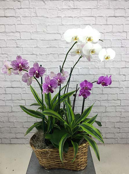 Orchid Planter in Arlington Heights IL, Sylvia's - Amlings Flowers