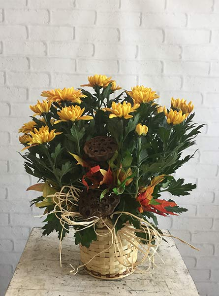 November: Chrysanthemum in Chicagoland IL, Amling's Flowerland