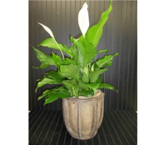 Country Peace Lily in Ionia MI, Sid's Flower Shop