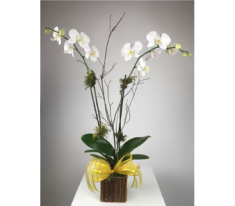White Phalaenopsis  in Atlanta GA, Dan Martin Flowers