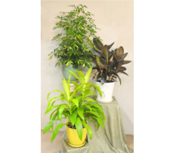 Tropical House Plant in Utica NY, Chester's Flower Shop And Greenhouses