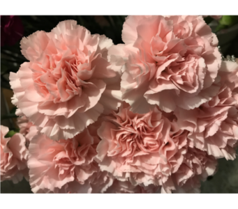 Light Pink Carnation in Creedmoor NC, Gil-Man Florist Inc.