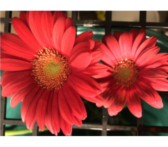 Red Gerber Daisy in Creedmoor NC, Gil-Man Florist Inc.