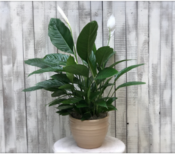 Large Peace Lily in Sacramento CA, G. Rossi & Co.