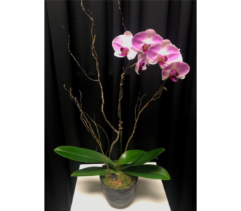 Phaleanopsis Orchid in Somerset NJ, Flower Station