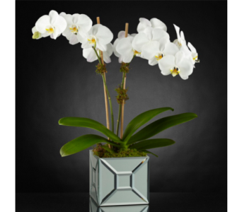 Elegant Impressions Orchid in Baltimore MD, Raimondi's Flowers & Fruit Baskets